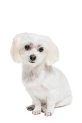 Cute white maltese dog. Studio shot. Grey background.