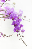 Fototapety purple Dendrobium orchid with soft light