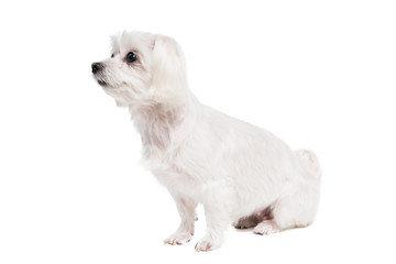 Cute white maltese dog. Studio shot. Grey background.