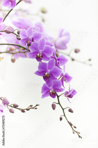 Papiers peints Orchidée purple Dendrobium orchid with soft light