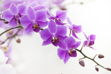purple Dendrobium orchid with soft light