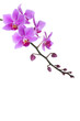pink Dendrobium orchid on white background