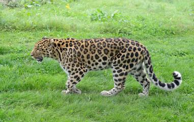 Leopard active