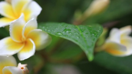 White frangipani flowers with rain drops on natural blurred