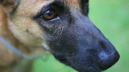 Close up of eye and nose Of german shepherd puppy. HD. 1920x1080