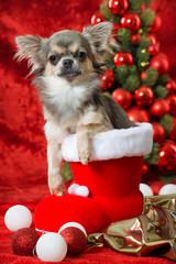 Chihuahua im Nikolausstiefel