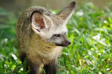 Single bat-eared-fox in public zoo,