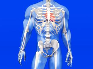 Menschliche Anatomie - Herz