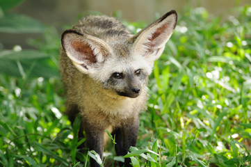 Single bat-eared-fox in public zoo,