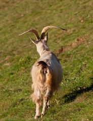 capra bianca