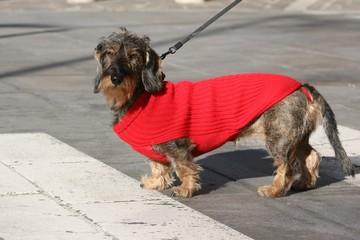 Cane bassotto attraversa la strada