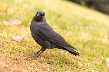 corvus monedula on grass