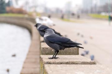 corvus monedula sits on the parapet
