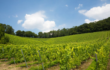 Vineyard in Nordrhein-Westfalen, Germany