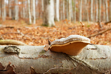 Tinder fungus and autumn forest
