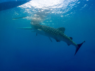 Whale shark (Rhincodon typus) is a slow-moving shark