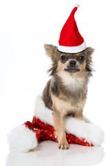 Chihuahua mit Weihnachtsmütze