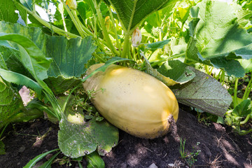 Large yellow zucchini with green leaves growing in the garden of