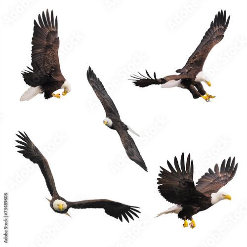 Plexiglas Eagle Bald eagles.