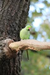Feral Rose-ringed Parakeet (psitticula kraneri) in West London