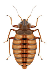 bedbug white background