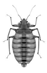 bedbug white background
