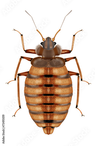 bedbug white background - 73493019