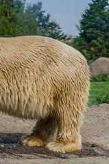 Polar Bear's Backside