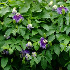 Passion Flower, Passiflora x alato-caerulea Lindl.
