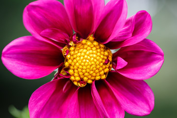 purple flower with yellow detailed pollen