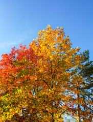 Trees and leaves of Fall. Autumn scene