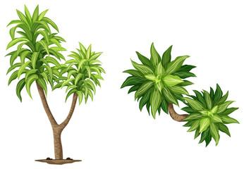 Queen of Dracaenas plant