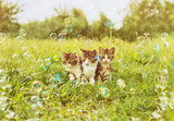Three kitten among soap bubbles - 73500491