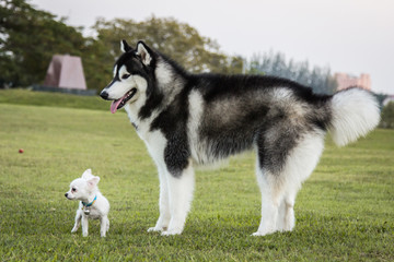 Portrait of a Siberian Husky dog and  chihuahua outdoors