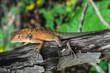 canvas print picture - Orange Lizard