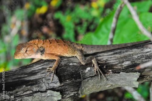 canvas print picture Orange Lizard