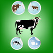 Cow.Farming dairy product.Fresh milk