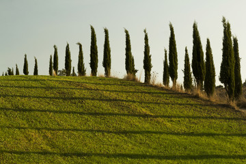 Cypress trees in a field from Tuscany
