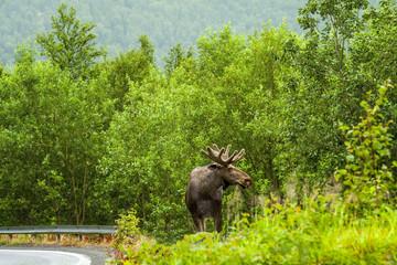 Dziki samiec łosia, Norwegia