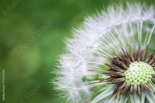 Foto op Canvas Paardebloem dandelion macro