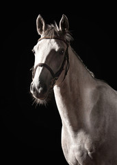 Horse. Portrait of Trakehner gray color on dark background
