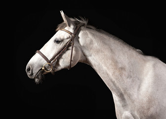 Horse. Portrait of Trakehner gray color on dark background