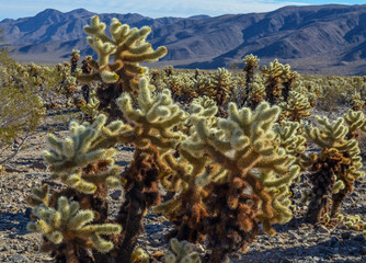 Beautiful Cholla cactus garden, Joshua tree national park