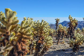 Cholla cactus garden in Joshua tree national park, CA
