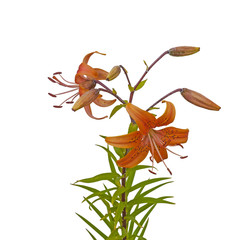 Asiatic yellow lily flowers on white background