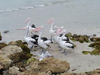 Australian pelicans on the beach of Kangaroo island