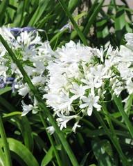 A closeup of a Agapanthus or lily of the nile