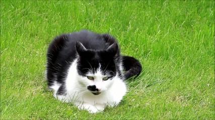 Katze schwarzweiß liegt und sitzt auf Wiese und putzt sich