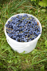 sweet grapes in a bucket