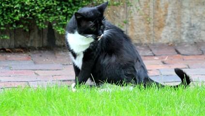 Kater, schwarzweiß, sitzt im Garten und putzt sich